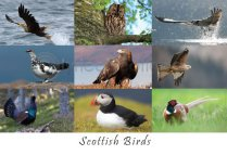 Scottish Birds Composite Postcard (HA6)