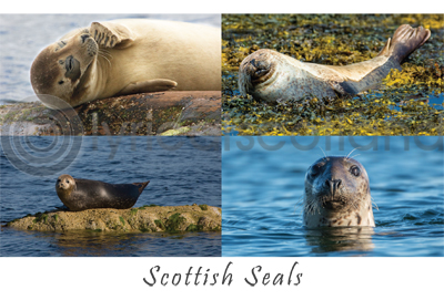 Scottish Seals Composite Postcard (HA6)