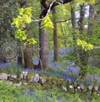 Bluebell Oaks Colour Art Greetings Card