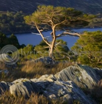 Scots Pine, Glen Affric Colour Art Greetings Card