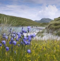 Harebells on the Beach, Vatersay Colour Art Greetings Card