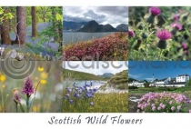 Scottish Wild Flowers Composite Postcard