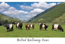 Belted Galloway Cows Postcard (HA6)