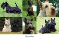 Scotties Composite Postcard (HA6)