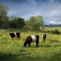 Belties Colour Art Greetings Card