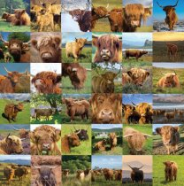 Highland Cows Composite Colour Photo Greetings Card (LY)