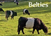 Belties Magnet (H LY)