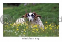 Blackface Tup, Wildflowers Postcard (H A6 LY)