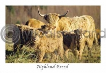 Highland Brood, Glen Lonan Postcard (HA6)