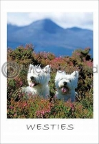 West Highland Terriers Postcard (VA6)