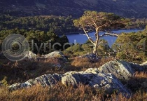 Scots Pines, Glen Affric Postcard (H A6 LY)