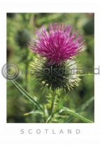 Scottish Thistle Postcard Postcard (VA6)