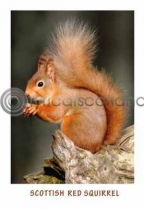 Scottish Red Squirrel Postcard (VA6)
