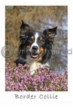 Border Collie Postcard (V A6 LY)