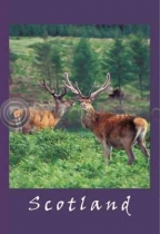 Red Deer Stags Postcard (V A6 LY)