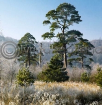 Scots Pine Colour Photo Greetings Card