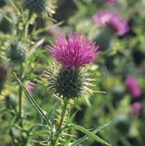 Scottish Thistle Colour Photo Greetings Card (LY)