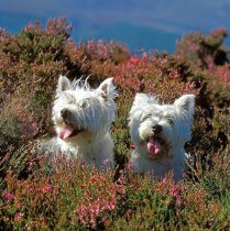 Westies in  the Heather Colour Photo Greetings Card
