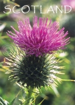Scotland - Scottish Thistle Magnet (V)