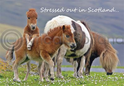 Stressed Out In Scotland Magnet (H)
