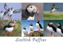 Scottish Puffins Composite Postcard (HA6)