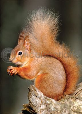 Red Squirrel Magnet (V)